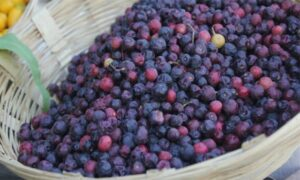 Read more about the article Phalsa / Falsa Cultivation in Pakistan / فالسہ کی کاشت