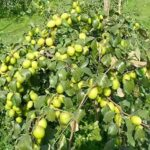Read more about the article Ber (Jujube) Cultivation / بیر کی کاشت