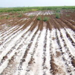 Read more about the article Reclamation of Saline – Sodic Soils / تھور باڑہ زمینوں کی بحالی