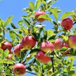 Read more about the article PRODUCTION TECHNOLOGY OF APPLE / سیب کی کاشت