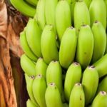 Read more about the article Banana Cultivation in Pakistan / کیلے کی کاشت