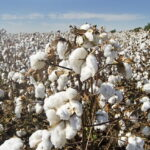 Read more about the article Cotton Cultivation in Pakistan / کپاس کی کاشت