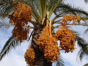 Read more about the article Date Cultivation in Pakistan / کھجور کی کاشت