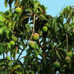 Read more about the article Mango Cultivation in Pakistan / پاکستان میں آم کی کاشت
