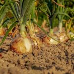 Read more about the article Onion Cultivation / پیاز کی کاشت