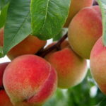 Read more about the article Peach / آڑو کی کاشت