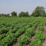 Read more about the article Groundnut (Peanut) Cultivation / مونگ پھلی کی کاشت