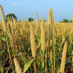 Read more about the article Millet Production in Pakistan / باجرہ کی کاشت