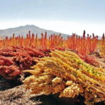 Read more about the article Quinoa / قینوا Cultivation in Pakistan