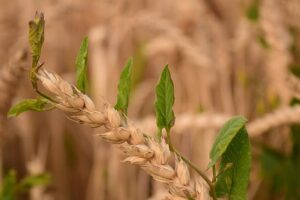 Read more about the article Weeds Control in Wheat / گندم میں جڑی بوٹیوں کا تدارک