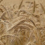 Read more about the article Wheat Cultivation in Pakistan / بہترین طریقہ کاشت برائے گندم