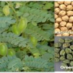 Read more about the article Cultivation of Gram / Cholay / چنا کی کاشت