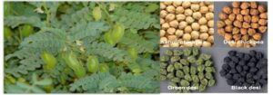 Read more about the article Cultivation of Gram / Chickpea / چنا کی کاشت