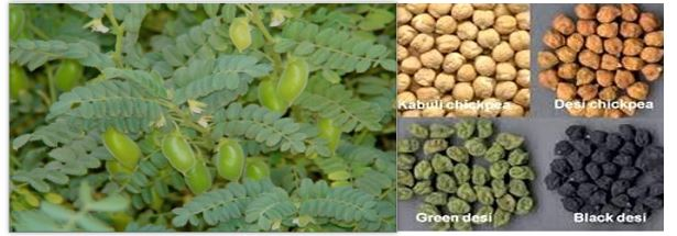 You are currently viewing Cultivation of Gram / Chickpea / چنا کی کاشت