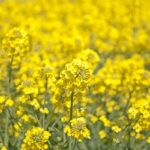 Read more about the article Canola Cultivation / کینولہ کی کاشت