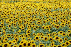 Read more about the article Cultivation of Sunflower in Pakistan / سورج مُکھی کی کاشت
