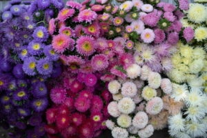 Read more about the article China Aster / آسٹر