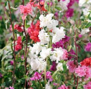 Read more about the article Clarkia – کلارکیا