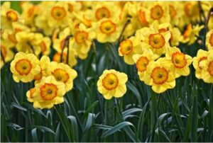 Read more about the article Daffodil Flowers – گلِ نرگس