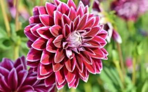 Read more about the article Dahlia Flowers – ڈیلیا