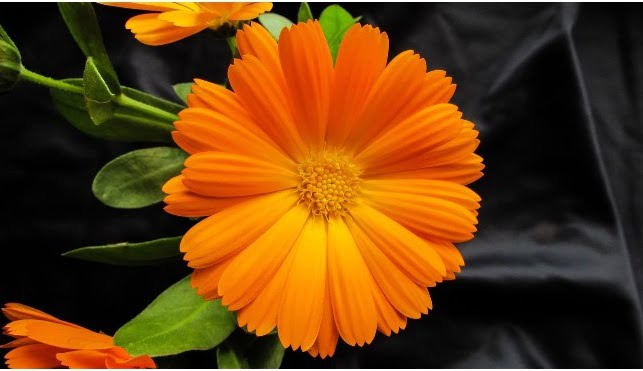 You are currently viewing Pot Marigold – گلِ اشرفی