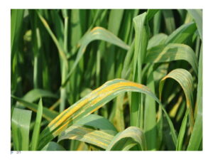 Read more about the article Wheat Rust Diseases and their Control / گندم کی بیماری کنگی