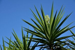 Read more about the article Yucca – یوکا
