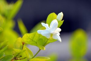 Read more about the article Arabian Jasmine – موتیا