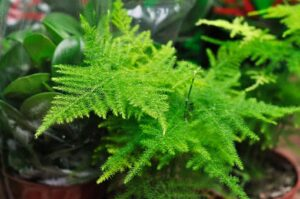 Read more about the article Asparagus Fern – اسپیراگس