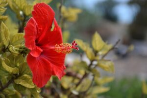 Read more about the article Hibiscus / Shoe Flower- گلِ ہر
