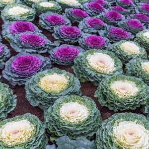 Read more about the article Ornamental Cabbage / Flowering Kale / کیبیج