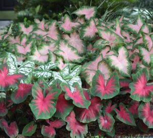 Read more about the article Caladium – کلیڈیم