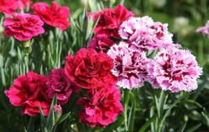 Read more about the article Carnation / کارنیشن