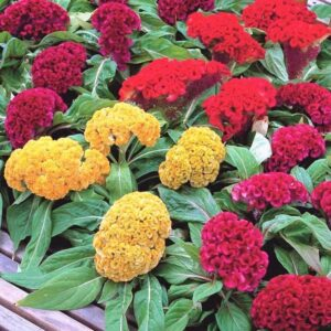 Read more about the article Cockscomb (Celosia) – گلِ قلغہ