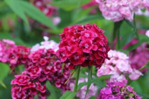 Read more about the article Sweet William – سویٹ ولیم