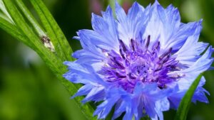 Read more about the article Cornflower – سنچوریہ