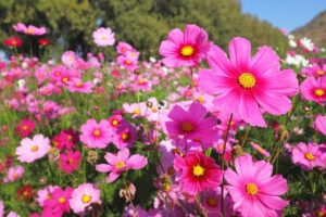 Read more about the article Cosmos Flower – کاسموس