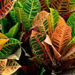 Read more about the article Croton – کروٹن