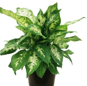 Read more about the article Dieffenbachia – ڈفن بیکیا