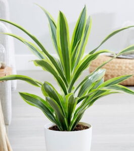 Read more about the article Dracaena – ڈراسینا