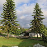 Read more about the article Araucaria – ایروکیریا