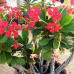 Read more about the article Euphorbia – یوفوربیا