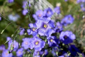 Read more about the article Flax Flowers – السی