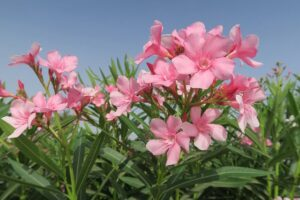 Read more about the article Oleander – کنیر