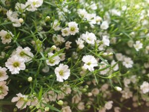Read more about the article Baby's Breath / Gypsophilla – جپسوفلا