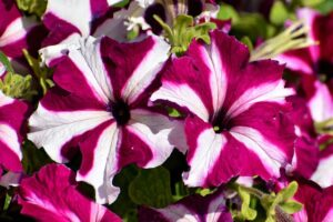 Read more about the article Petunia – گلِ اطلس