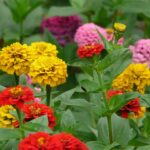 Read more about the article Zinnia Flower – زینیا