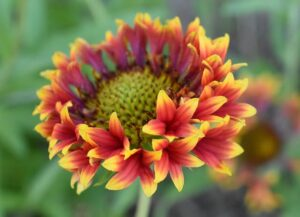 Read more about the article Gaillardia – گلارڈیا