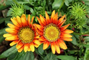 Read more about the article Gazania – گزینیا