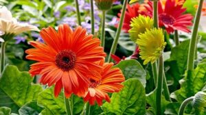 Read more about the article Gerbera (Transvaal Daisy) – جربرا